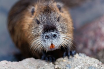 Face of a Coypu or Nutria