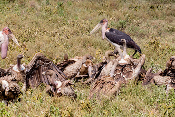 Wilder Beast Carcass with Vultures