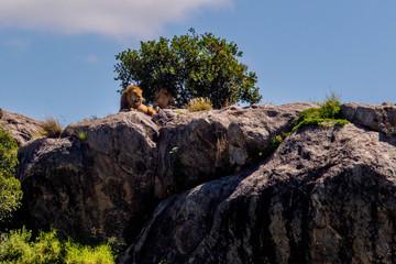 Lions Sunbathing
