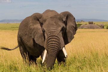 Closeup of African Elephant