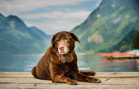 Senior Chocolate Labrador Retriever dog lying down on dock in mountain lake