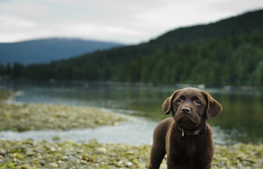 Chocolate Labrador Retriever puppy dog portrait by mountain lake