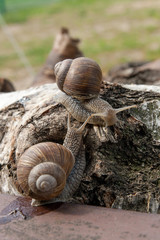 Two big Burgundy snails (Helix, Roman snail, edible snail, escargot) crawling on the trunk of old birch tree. .