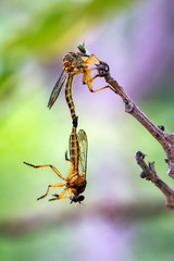 Image of mating robber flies on dry branches. Insect. Animal.