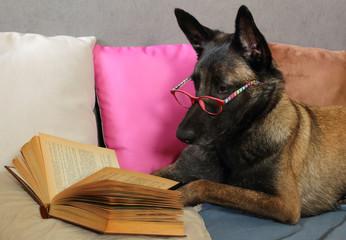 un chien de berger belge malinois lit un livre avec une paire de  lunette sur le museau allongé sur des coussins en mode cocooning