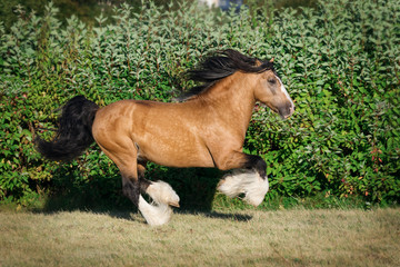Buckskin horse running gallop outdoors on summer background