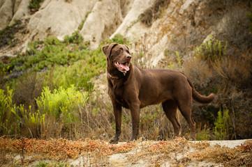Chocolate Labrador Retriever dog outdoor portrait standing in dry natural terrain