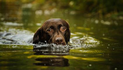 Chocolate Labrador Retriever dog outdoor portrait swimming in water