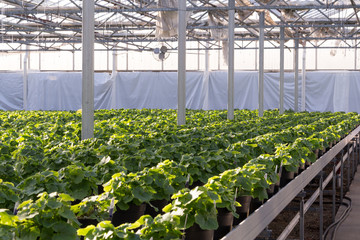 Greenhouse interior with tables of bedding plants. Rows of geraniums growing in pots in a hothouse. Business concepts of horticulture, agriculture, growing, spring