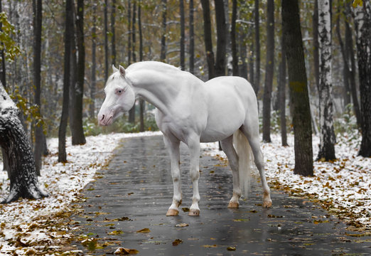 Portrait of a white horse of breed the Wales pony without bridle on path in the park in the autumn wood with new snow