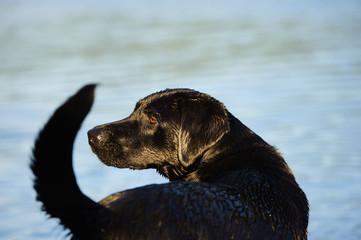 Black Labrador Retriever dog outdoor portrait by water