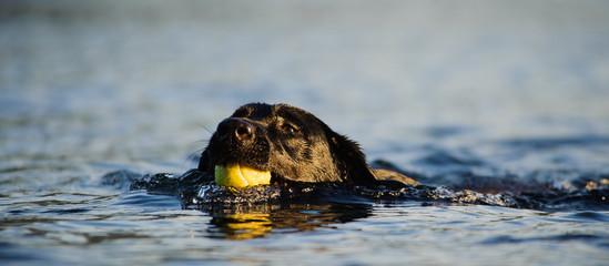 Black Labrador Retriever dog outdoor portrait swimming with tennis ball