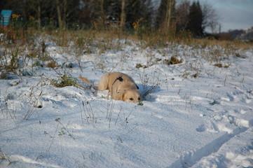 Golden Retriever Welpe spielt im schnee