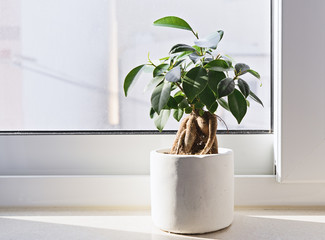 Potted Ficus Bonsai on light windowsill. Indoor flower for office concept