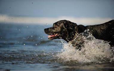 Black Labrador Retriever dog outdoor portrait splashing through ocean water