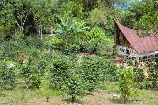 Beautiful landscape of a small coffee plantation and a traditional batak house in Lake Toba, Sumatra, Indonesia