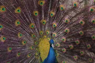 Indian blue peacock with spread feathers