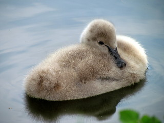 Young swan on water surface. Cygnet resting in a pond. Cute bird baby