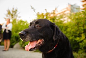 Black Labrador Retriever dog outdoor portrait with women in background