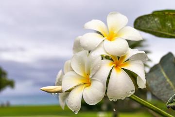 Frangipani is a popular, tropical flower