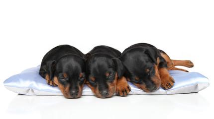 Spoed Fotobehang Hond Miniature Zwerg Pinscher puppies sleeping