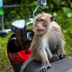 Monkey sitting on a motorbike, Thailand. Travel and tourism.