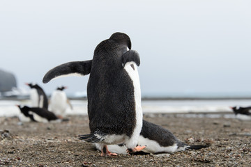 Gentoo penguin going away from back