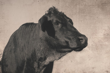 Wall Mural - Vintage style animal image shows cow in agriculture rural farm setting.  Black Angus portrait up close with sepia background.