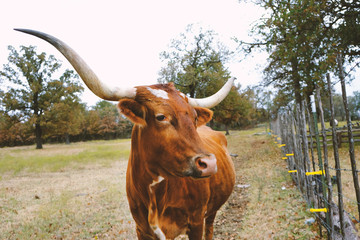 Wall Mural - Large longhorn cow on texas farm, shows agriculture cattle for industry.