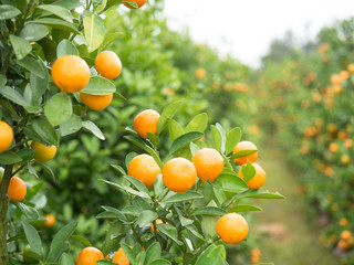 Image of a branch of a citrus tree with foliage and tangerines on the background of a garden