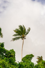 Royal Palm is standing along surraunded with the tropical forest on the cloudy background. Cloudy and windy weather. Samana. Dominican Republic. Roystonea