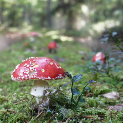 Amanita muscaria in the forest