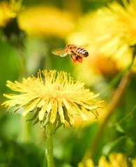 Biene schwebt über Löwenzahn