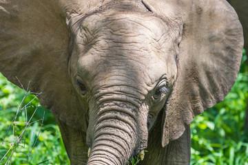 Wild elephant at Lake Manyara National Park. Tanzania.