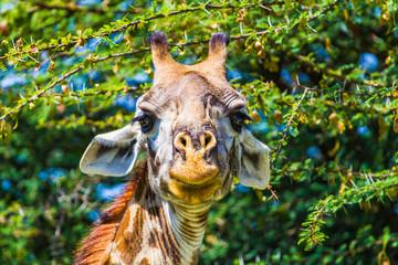 Giraffe in Tarangire National Park, Tanzania.