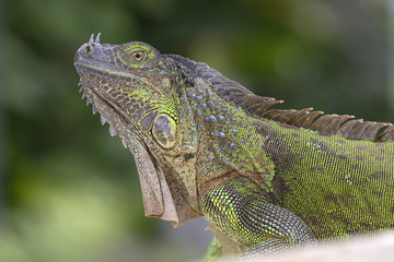 portrait of green iguana