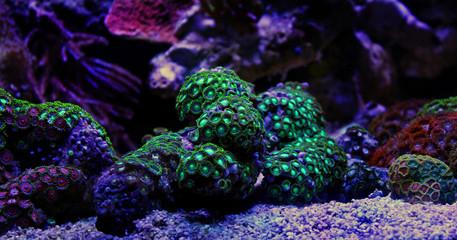 Zoas coral colony garden in coral reef aquarium tank