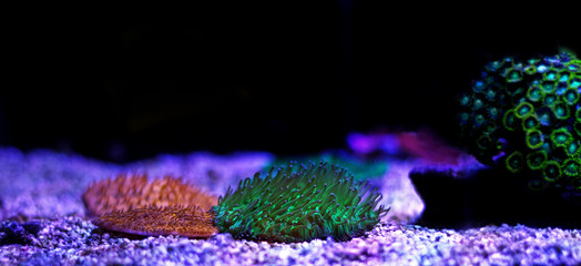 Fungia LPS coral