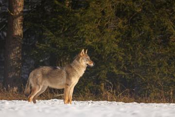 Wolf spielt im Schnee