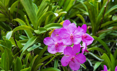 Beautiful purple vanda orchid   in the garden