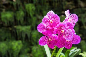 Beautiful purple vanda orchid   in the garden