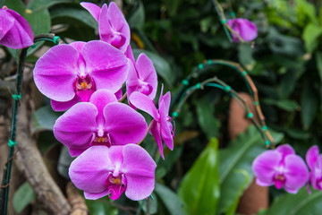 Image of a Beautiful Purple Orchid Flowers in the garden. Bright pink orchids