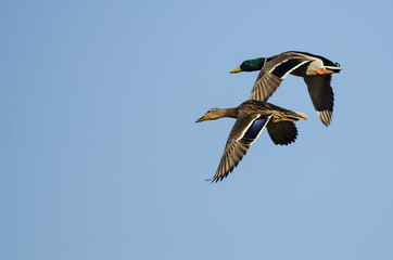 Wall Mural - Pair of Mallard Ducks Flying in a Blue Sky