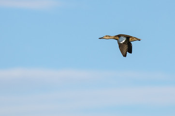 Blue-Winged Teal Flying in a Blue Sky