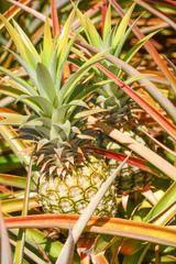 Pineapple in Farm Field