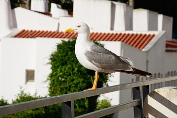 Seagull standing on a balcony railing, Albufeira, Algarve, Portugal.