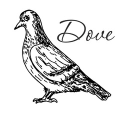 Vector engraving drawing illustration of dove isolated on white background