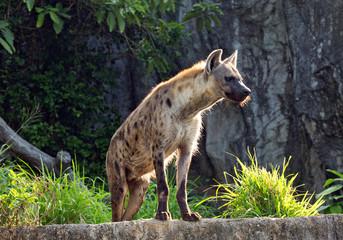 Poster Hyène Hyenas