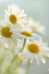White camomiles tender background. Soft focus. Chamomile flowers on a  blurred background