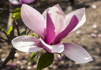 Spring, beautiful pink Magnolia flower close-up